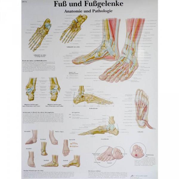 Lehrtafel: Fuß und Fußgelenke