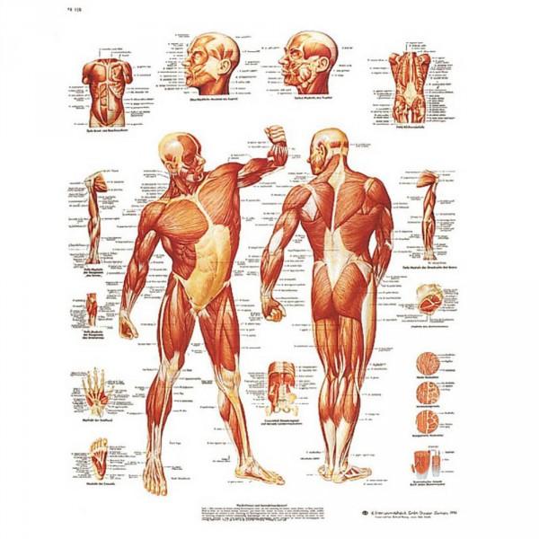 Lehrtafel: Die menschliche Muskulatur