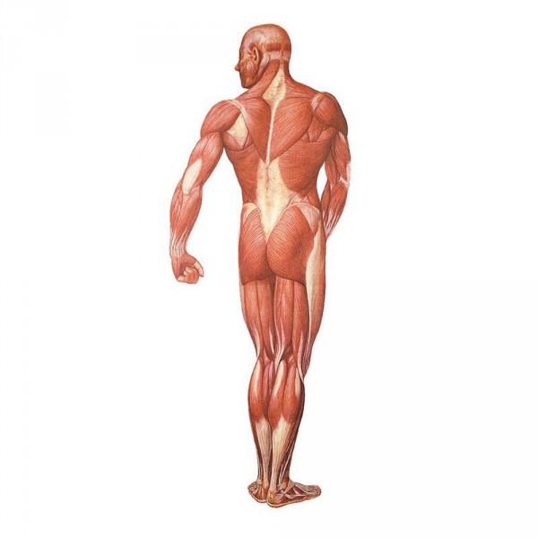 Lehrtafel: Die Muskulatur des Menschen, Rückseite
